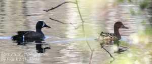 PPL Wetlands blue winged teal April 24 2016 -2