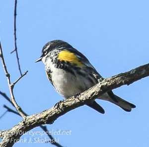 PPL  Wetlands   yellow rumped warbler April 24  2016 -4