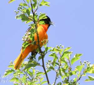 PPL Wetlands baltimore oriole -7