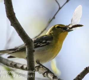 PPL Wetlands yellow throated vireo -14