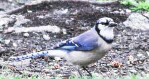 back yard feeders -16