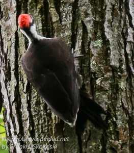 pileated woodpecker-14