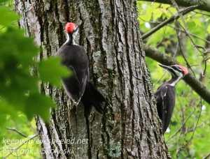 pileated woodpecker-8