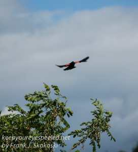 red winged blackbird-7