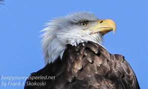 bald eagle -13