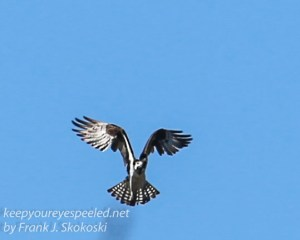 osprey -1
