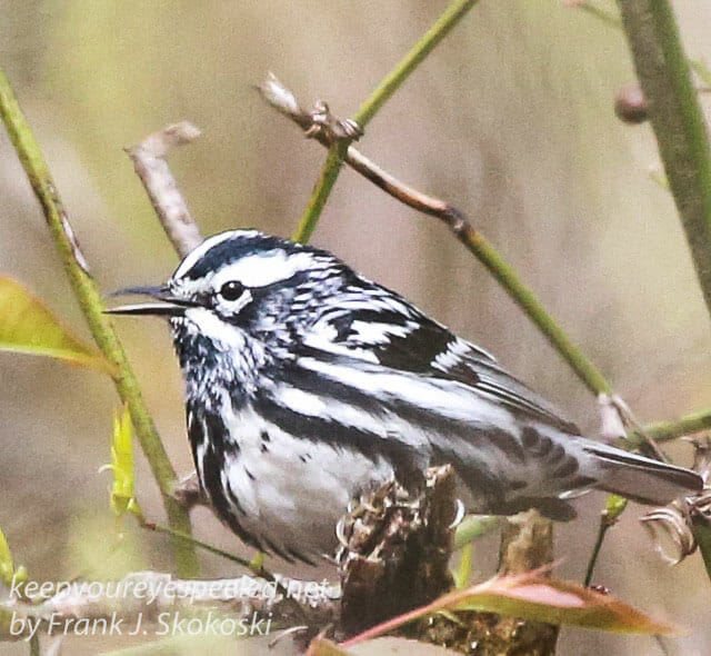 State game lands 119 black-and-white-warbler -9