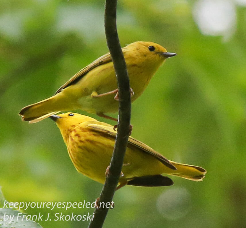 yellow warblers -16