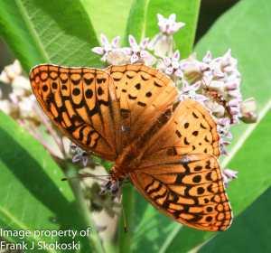 Aphrodite fritillary butterfly. on milkweed flower