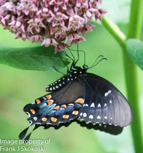 spicebush swallowtail butterfly on milkweed flower