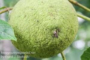 close up of black walnut