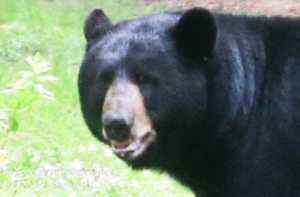 close up black bear face