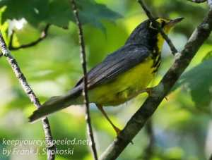 canada warbler in tree