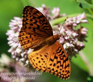 Aphrodite fritillary butterfly on milkweed flower