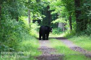 black bear on path