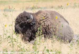 Buffalo in grass on Antelope Island
