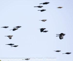 red winged black birds in flight