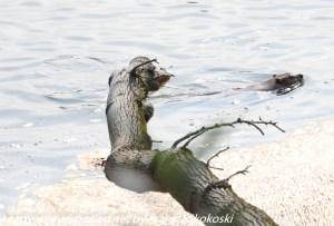 beaver swimming in Susquehanna River