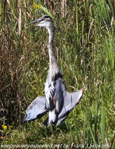 great blue heron basking in sun