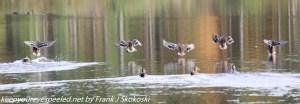 mallard ducks landing on lake
