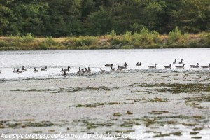 canada geese on lake