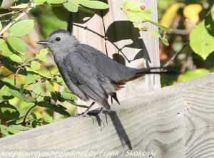 catbird on fence