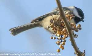 black-capped chickadee feeding on poison ivy berries