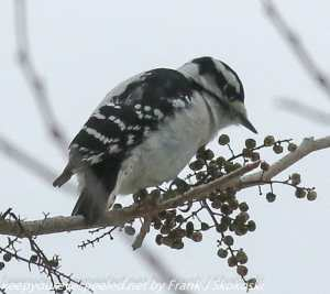downy or hairy woodpecker eating poison ivy berries