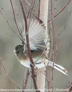 northern junco in flight