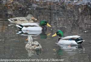mallard ducks on canal
