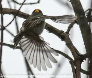 junco in flight