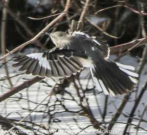 mockingbird in flight