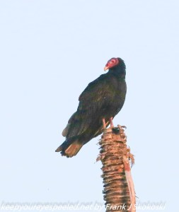 turkey vulture on tree