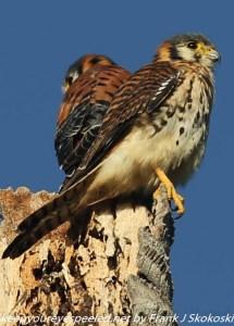 pair of american kestrels on tree