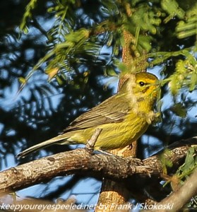 palm warbler in tree