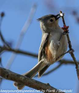 tufted titmouse eating red maple bud