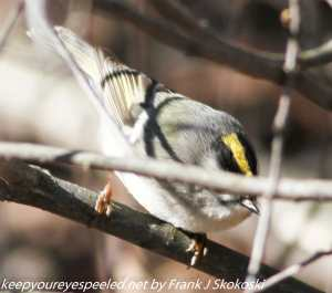 golden crowned kinglet on branch
