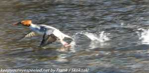 female common merganser in flight
