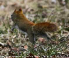 red squirrel scampering across trail