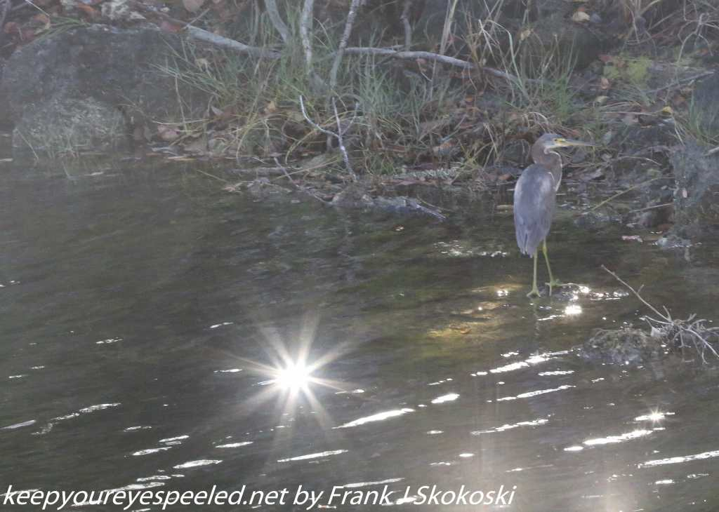 tri-colored heron and sun reflection