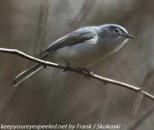 blue gray gnatcatcher  in tree