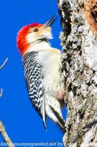 red bellied woodpecker on tree trunk
