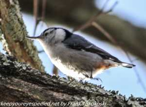 red breasted nuthatch on tree