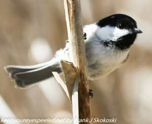 black-capped chickadee on cattail