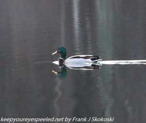 duck swimming on pond