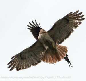 crow attacking hawk