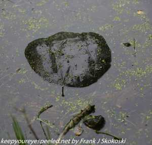 snapping turtle submerged in water
