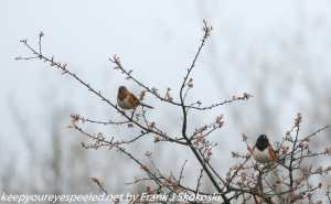 male and female towhees on branch