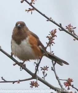 female towhee on branch