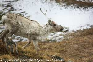 mother reindeer and calf
